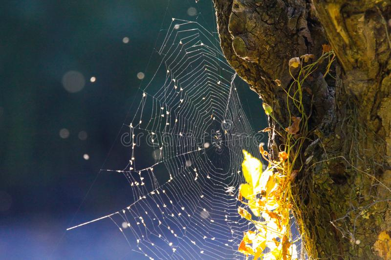 Close up of shining spider web at tree trunk bark with bright glowing leaves in autumn sun blurred blue background near Roermond, royalty free stock images