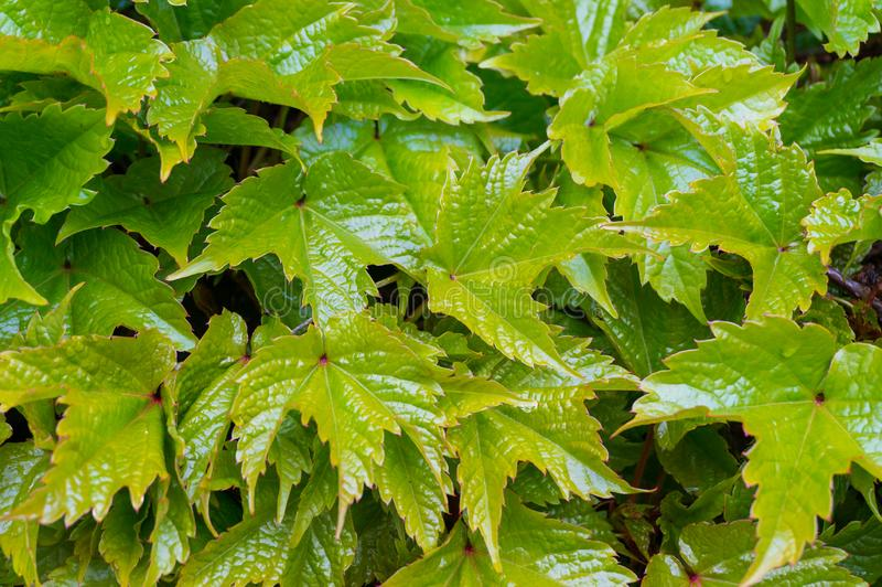 Close up of shiny green grape leaves, vines royalty free stock photos
