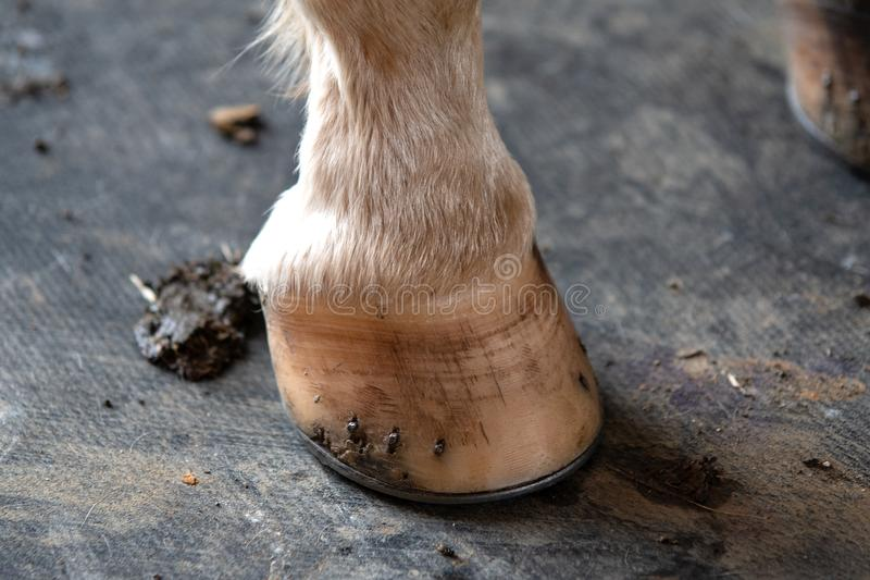 Shod horse`s hoof close-up. Close-up of a shod horse`s hoof with a few chips standing on a rubber mat stock images