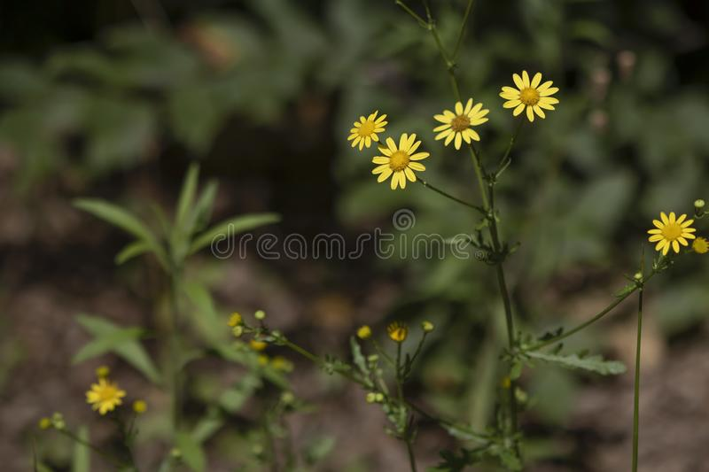 Close up shoot of golden ragwort flower. There are green branches. Abstract blurred background. Growth, petals, leaf, outdoors, no, people, spring, common royalty free stock photos