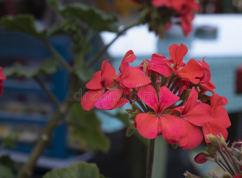 Close up shoot of ivyleaf geranium flower. Blurred background. Ivy-leaf, blossom, bud, floral, plant, garden, nature, summer, pelargonium, bloom, green, real royalty free stock photo