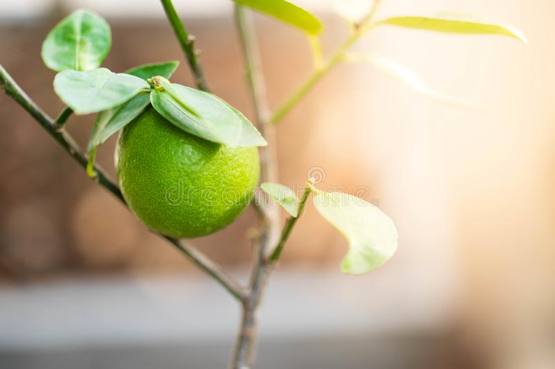 Close up shoot of lime on a lime tree royalty free stock images