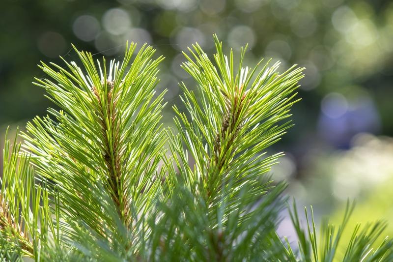 Close up shoot of needle-shaped leaves of scots pine tree. Pinus, sylvestris, twig, beauty, forest, beautiful, botanical, young, green, nature, park royalty free stock photos