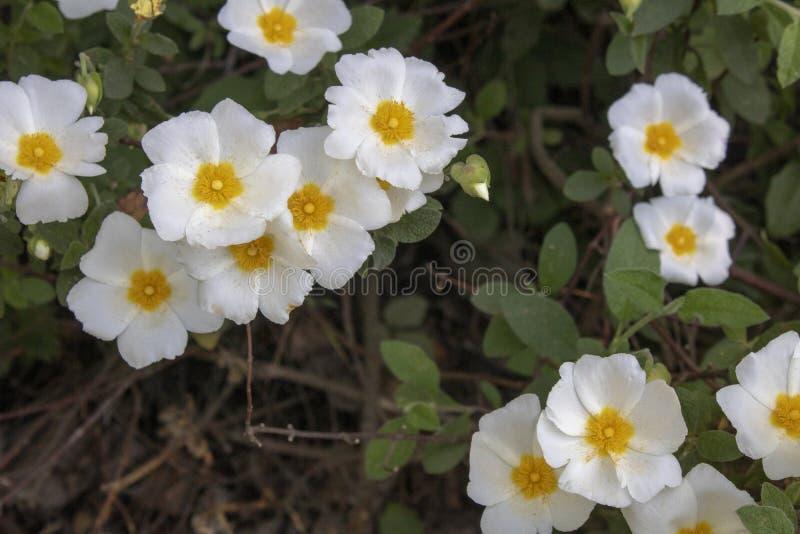 Close-up shoot of Salvia cistus flower. Latin name Cistus salviifolius, plant, flora, nature, cistaceae, summer, spain, closeup, rock, natural, rose, botany royalty free stock image