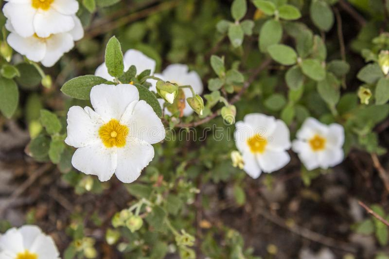 Close-up shoot of Salvia cistus flower. Latin name Cistus salviifolius, plant, flora, nature, cistaceae, summer, spain, closeup, rock, natural, rose, botany royalty free stock photography