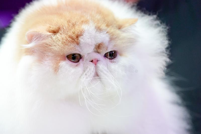 Close up the short nose and face Persian cat face long brown orange hair stock images