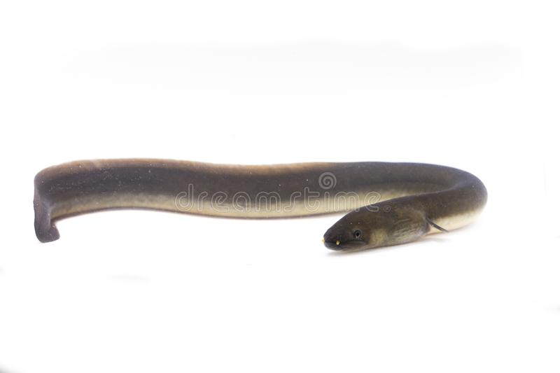 Close Up Of Shortfin Eel ,Anguilla Bicolor Isolated On White Stock Image