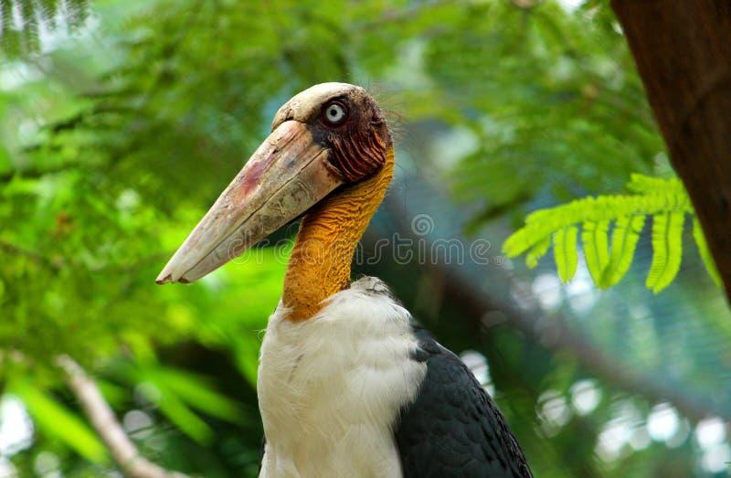 Close up shot of Adjutant Stork with large Beak. stock photos