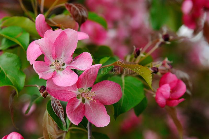 Blooming red apple tree stock photography
