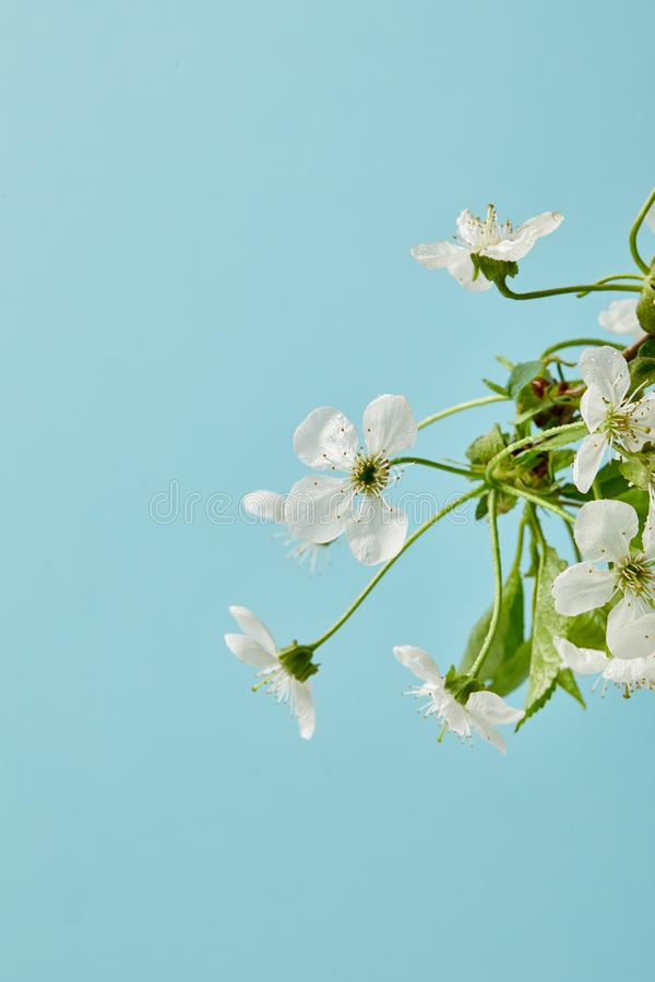 Close-up shot of aromatic white cherry flowers isolated on blue stock photography