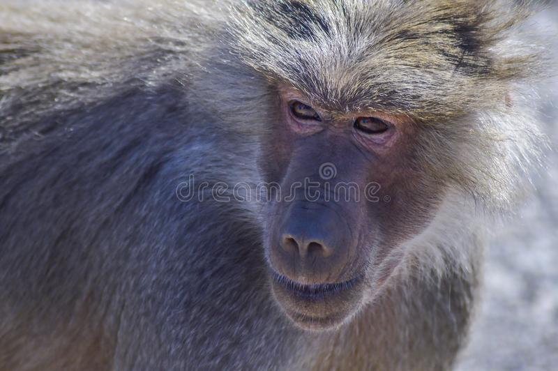 A close-up shot of Baboon monkey. stock photos