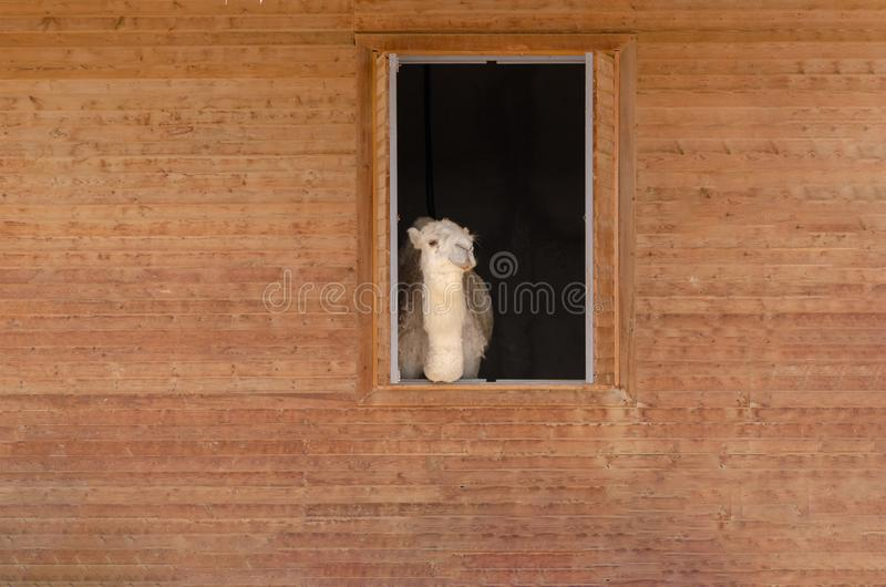 Close up shot of beautiful camel`s face in the barn. It is looking to the camera stock image