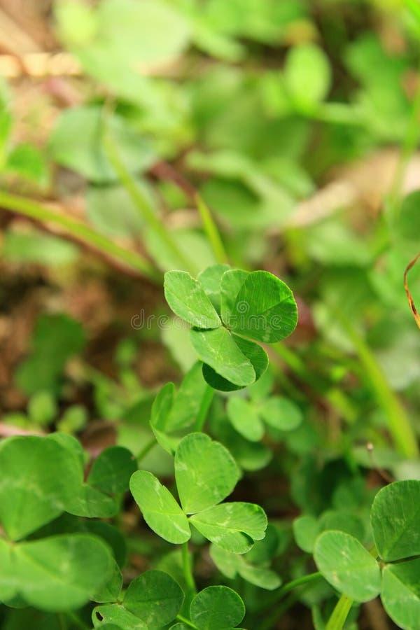 Close up shot of the beautiful Four leaf clover. At Nantou, Taiwan stock photo
