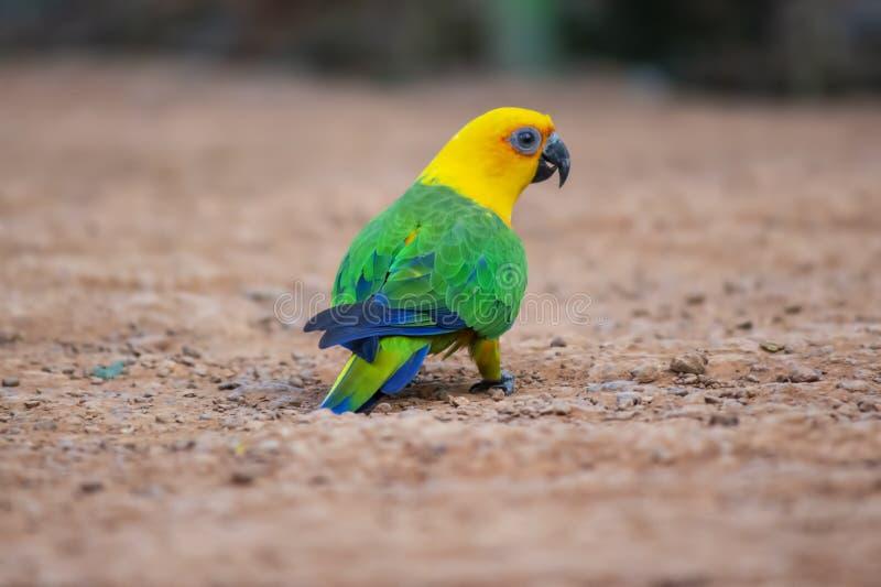 Sun conure parrot bird. Close-up shot of a beautiful sun conure parrot bird royalty free stock photography