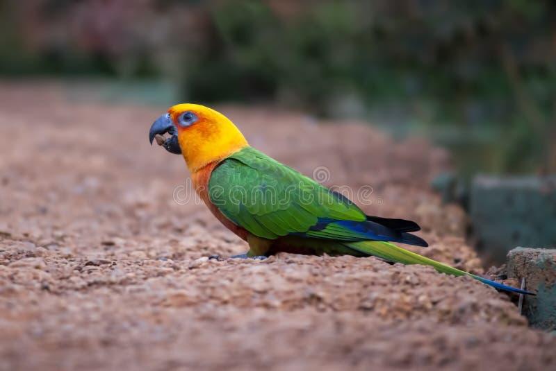 Sun conure parrot bird. Close-up shot of a beautiful sun conure parrot bird stock photo