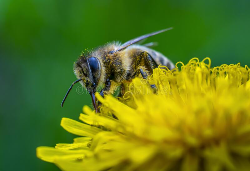 Close-up shot of a bee covered with yellow pollen on a bright yellow dandelion royalty free stock photos