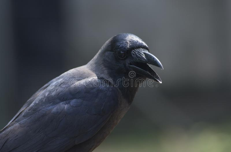 Close up shot of a black crow. Close up shot of a beautiful black crow in the zoo stock photography