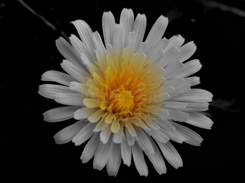 White flower with yellow middle stock photo