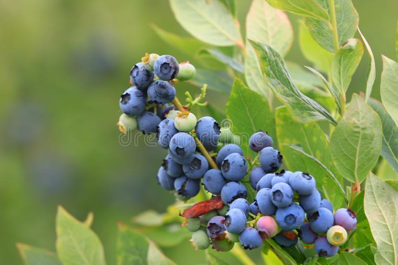 Blue berries on the plant stock image