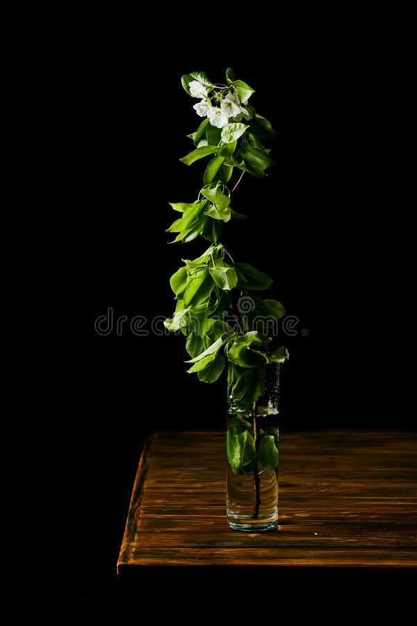 Close-up shot of branch of white cherry blossom in vase on wooden table isolated on black royalty free stock photography