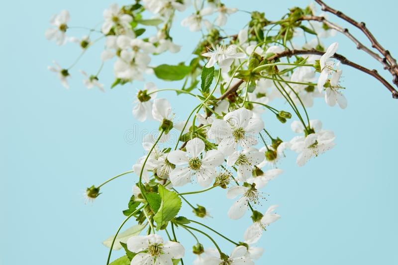 Close-up shot of branches of white cherry flowers isolated on blue royalty free stock image