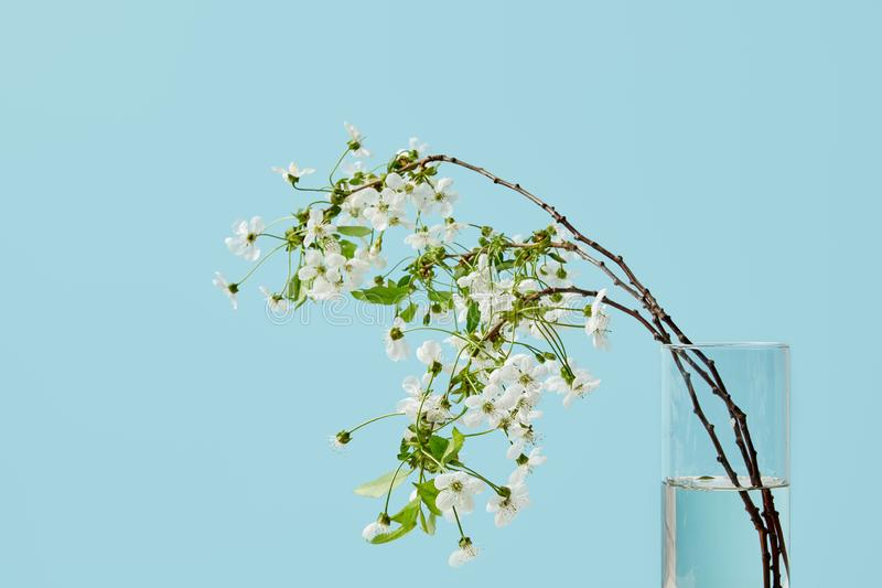 Close-up shot of branches of white cherry flowers in vase isolated on blue royalty free stock photos