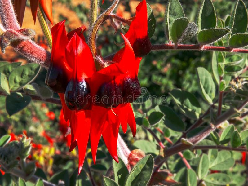 Close up shot of a bright red sturt`s desert pea royalty free stock photo
