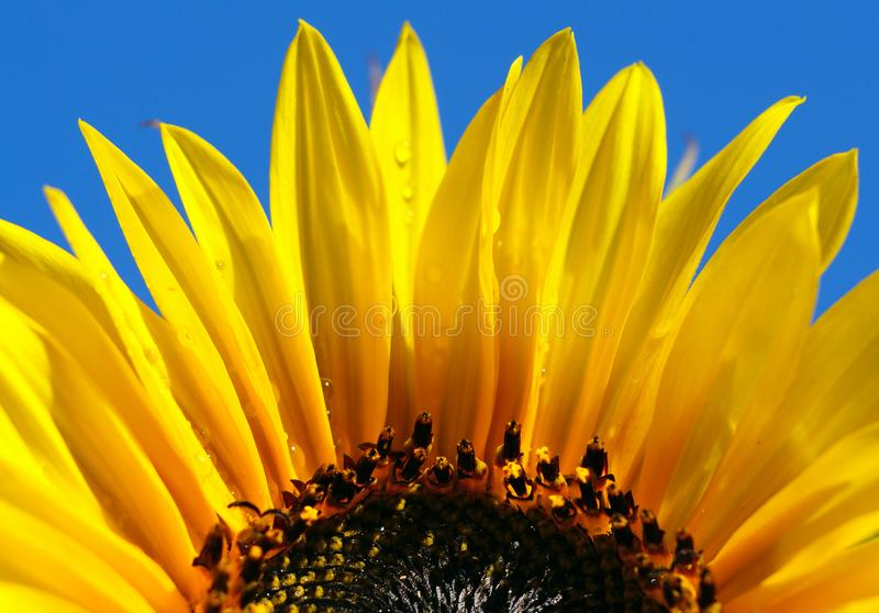 Close up shot of bright sunflower with dew drops royalty free stock image