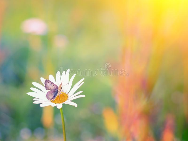 Close up shot of a butterfly on a daisy. royalty free stock image