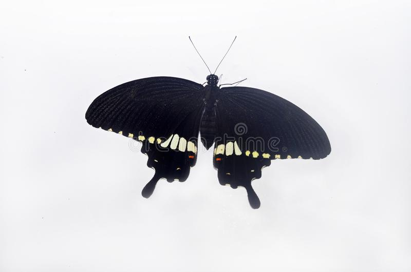 Close up shot of butterfly on white background royalty free stock photo