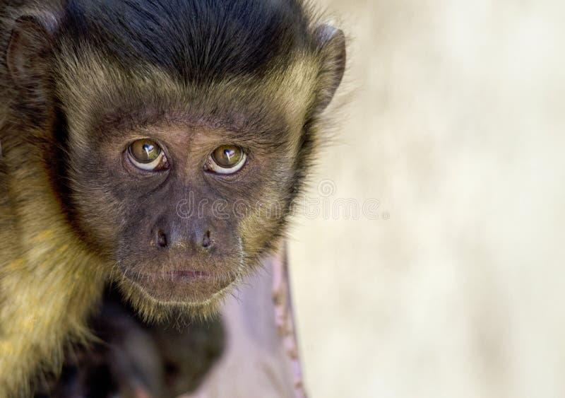 Portrait of a Monkey stock images