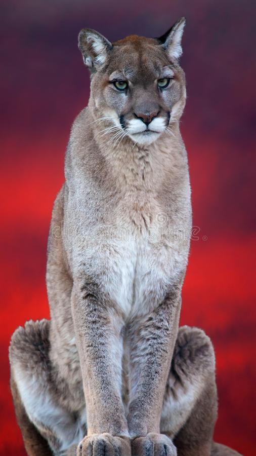 Download Cougar Stand On The Top Of Rock Stock Image - Image of beautiful, colourful: 104815699