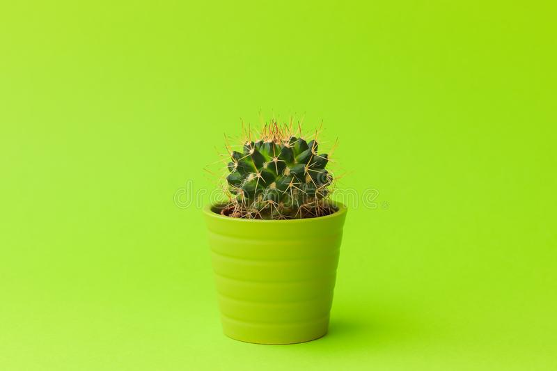 Close-up shot of cute little cactus in small green pot on lime color background. stock photography
