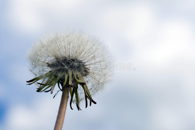 Close up shot of a dandelion flower ball.  royalty free stock images