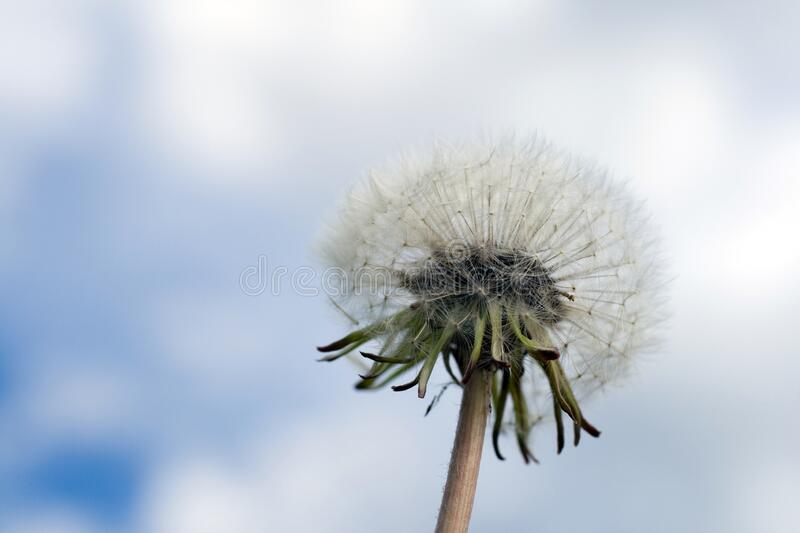 Close up shot of a dandelion flower ball.  stock images