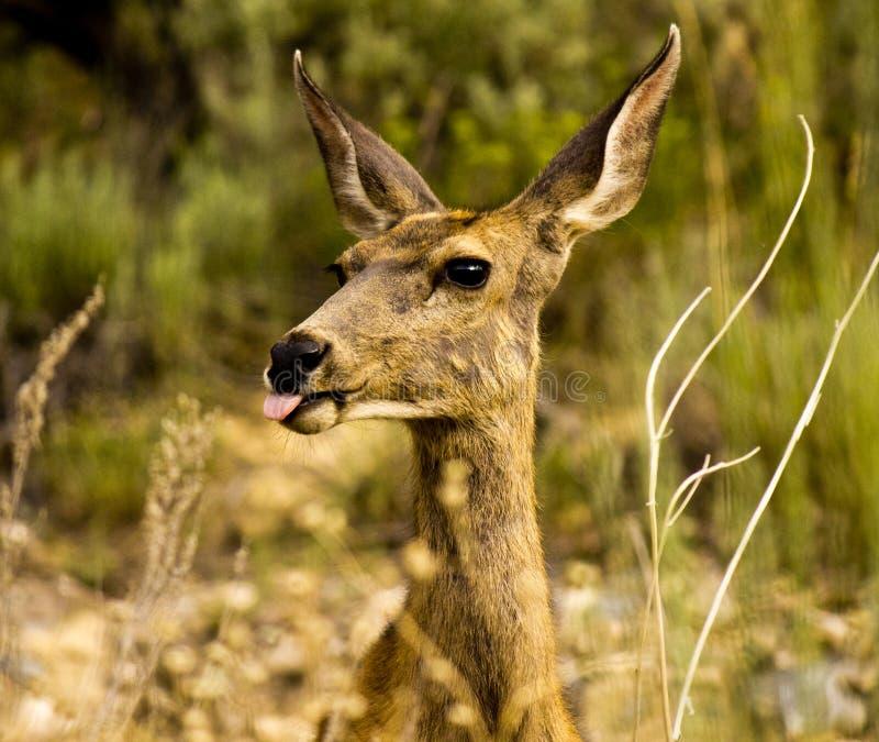 Deer Sticking Tongue Out at Camera royalty free stock image