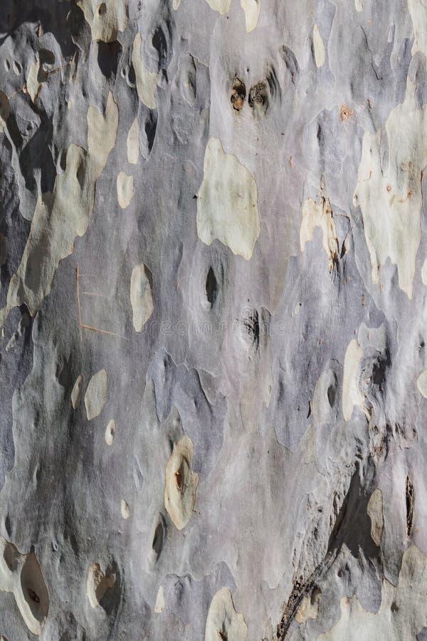 Close up shot of the Eucalyptus maculata tree trunk skin stock image
