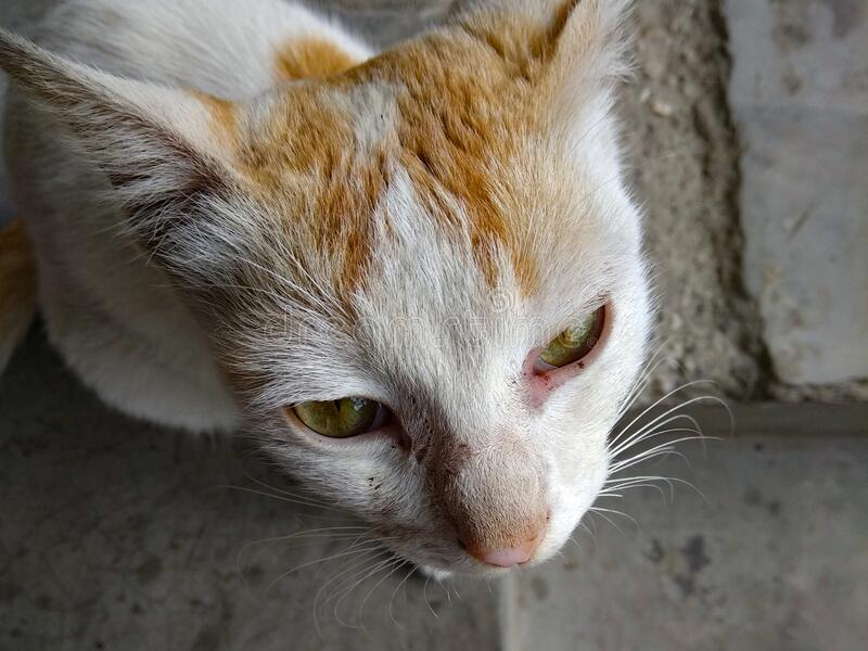 Close-up shot of a face of a cat from up. Biswanath Chariali, Assam, India - 4 March 2019: Close-up shot of a face of a house cat & x28;Felis catus& x29; from stock photo