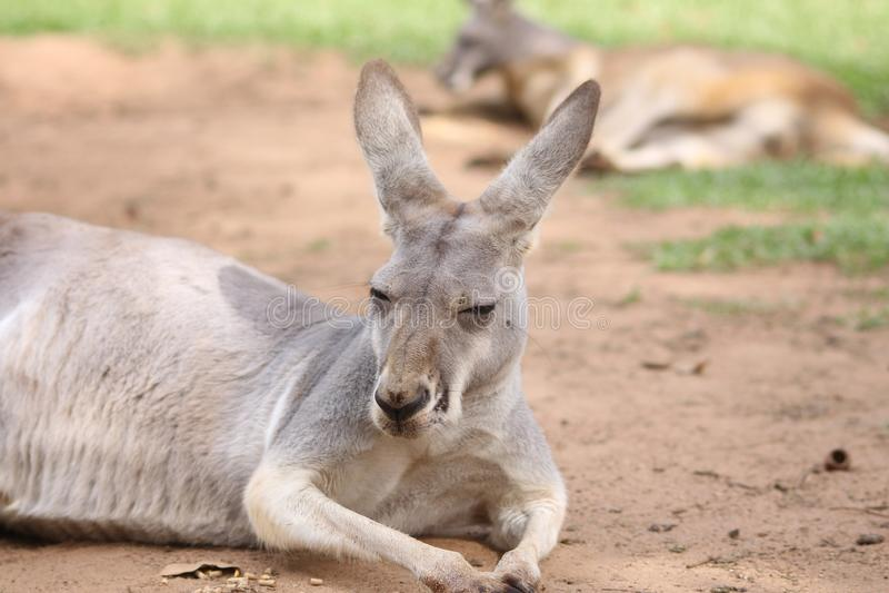 Close up of cute red kangaroo lying down stock photo