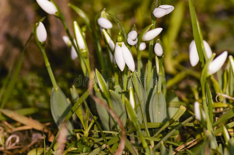 Close up shot of a few snowdrops stock image