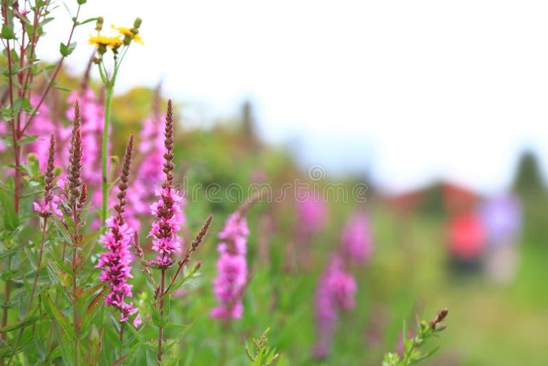 Foxglove flowers royalty free stock photos
