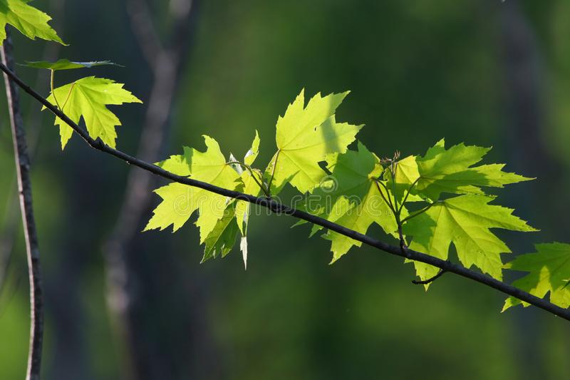 Close up shot of fresh maple leafs stock image
