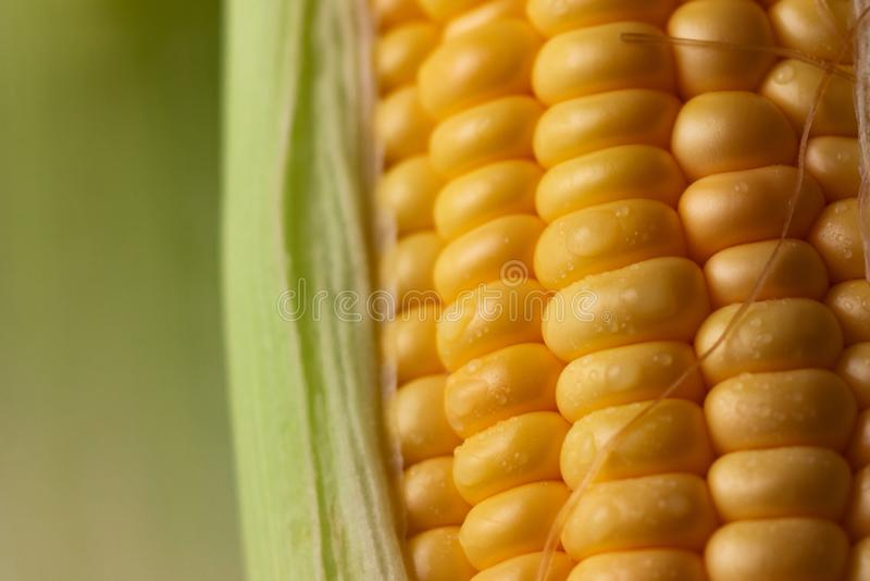 Close up shot Fresh ripe and peeled sweet corn with water drop high vitamin nature food select focus shallow depth of field royalty free stock photography
