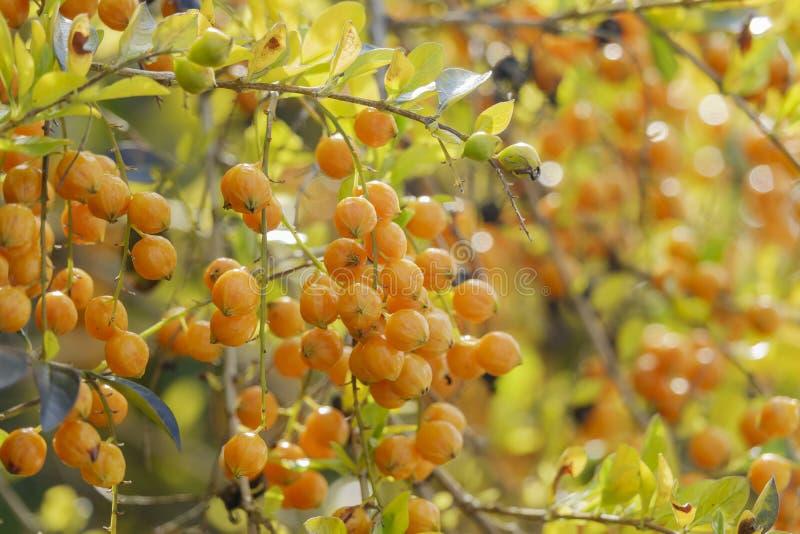 Close up shot of the fruits of Duranta erecta stock photo