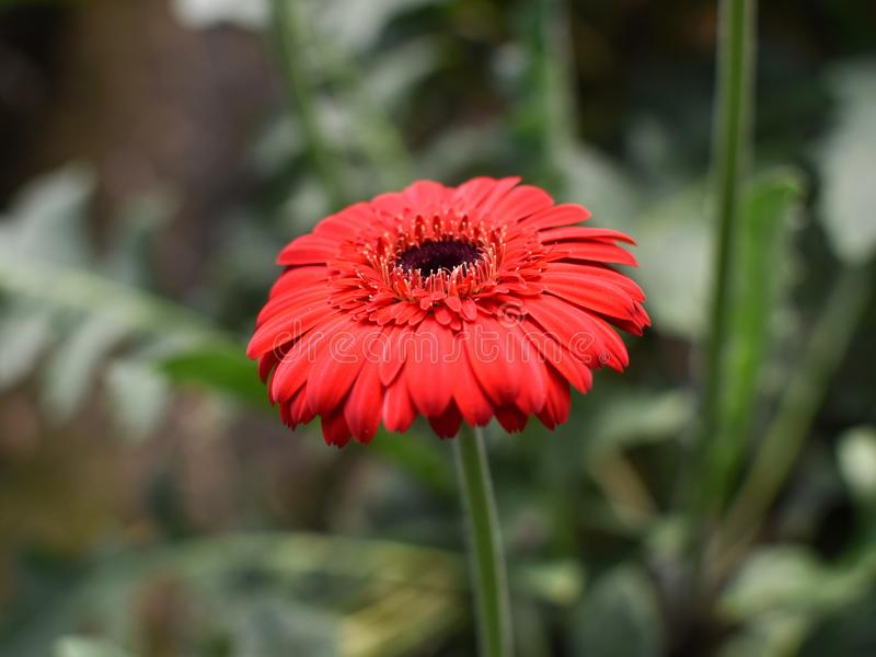 Close up shot of Gerbera daisies Gerbera jamesonii are commonly grown for their bright and cheerful daisy-like flowers royalty free stock photo