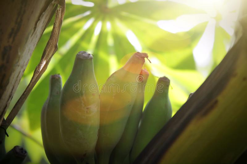Close up shot with green banana fruit on the banana tree in Thailand. A fresh and natural green banana fruit hanging on banana tree close up shot, For royalty free stock photo
