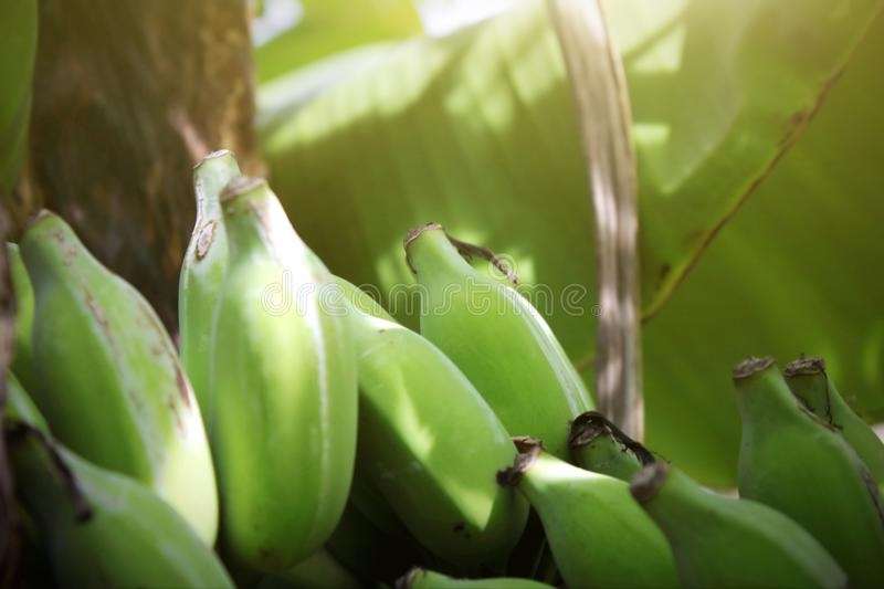 Close up shot with green banana fruit on the banana tree in Thailand. A fresh and natural green banana fruit hanging on banana tree close up shot, For royalty free stock images