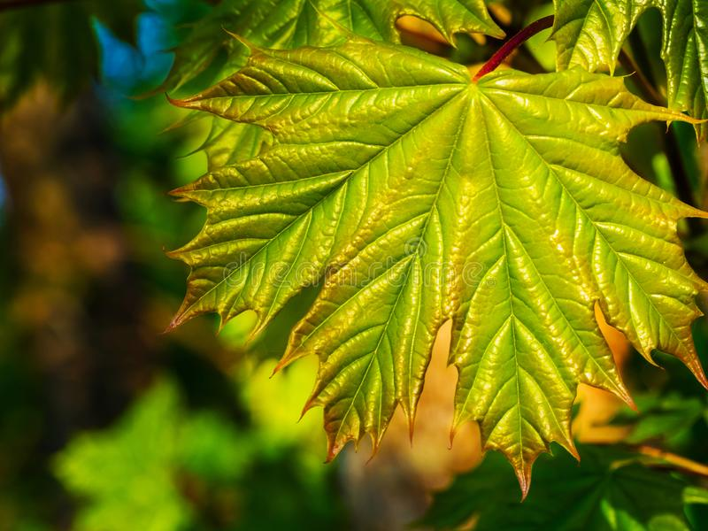 Close up shot of green maple leave with brown leaf ends in blurred background. Autumn beginning royalty free stock photo