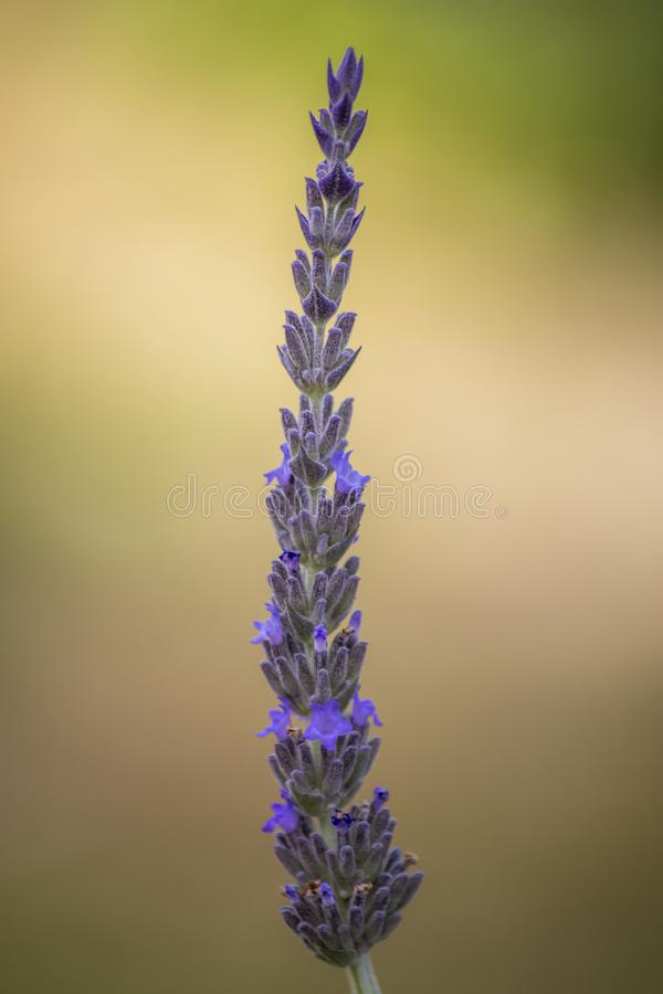 Close up shot of an isolated lavender flower.  stock photography