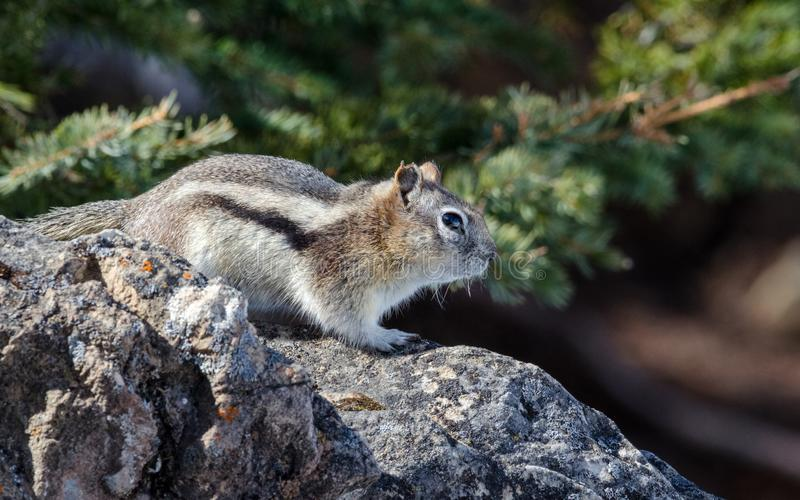 Close up of little chipmunk peering out royalty free stock images